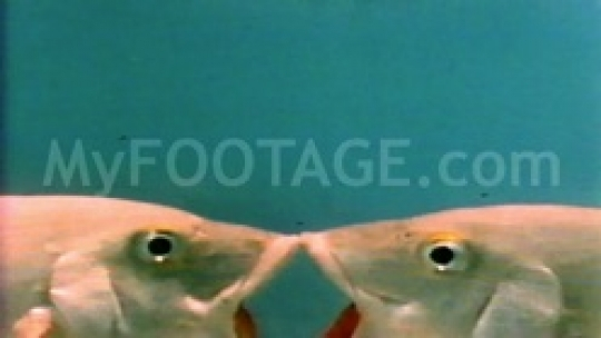 Two fishes locked in an fish lip kiss